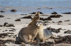 Pair Australian sea lion Neophoca cinerea playing and biting on the beach at Seal Bay, Kangaroo Island, South Australia stock images
