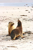 Pair of Australian sea lions (Neophoca cinerea) Stock Photos