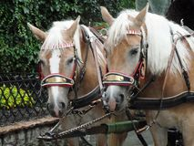 A pair of carriage horses. A pair of Austrian carriage horses waiting in line for customers Stock Photos