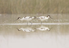 Pair of avocets Stock Photography