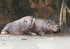 A pair of babirussa. Babirussa - fanged pig. The upper pair of fangs often used to provide protection in a fight. The adult babirussa covered so rare hair that stock images
