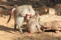 Pair of baboons Royalty Free Stock Image