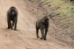 Pair of baboons out for a walk stock photos