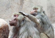 A Pair of Baboons Sit Grooming Each Other Stock Images