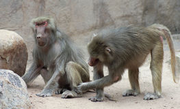 A Pair of Baboons Sit Grooming Each Other Royalty Free Stock Photos