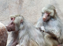 A Pair of Baboons Sit Grooming Each Other Royalty Free Stock Photography