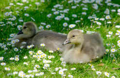 Pair of Baby birds in a flowering field Stock Photo