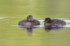 Pair of Baby Common Loons royalty free stock images