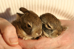 A Pair of Baby Cottontail Rabbits Rest in a Hand Stock Images