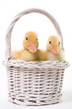 Pair of Baby Ducks in an Easter Basket Royalty Free Stock Images