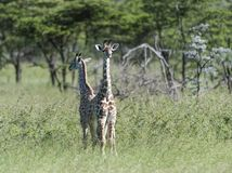 Pair of baby giraffe standing back to back stock images