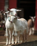 Pair of baby goats in barnyard. Two white baby goats sweetly nuzzle in barnyard Stock Photos