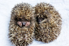 A pair of baby hedgehogs Royalty Free Stock Photos