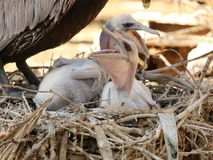 Pair of baby Pelicans. Sound like dinosaurs when they cry out for food Royalty Free Stock Photography
