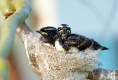 Pair baby Willie Wagtail birds in nest in tree Stock Photo