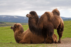 Pair of Bactrian camels, one lying down Royalty Free Stock Image