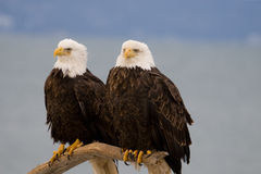 A Pair of Bald Eagles. A photo of two bald eagles next to each other on a perch. It was taken in Homer, Alaska Stock Photo