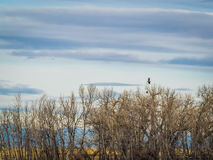 Pair of Bald Eagles in Distance Royalty Free Stock Photos