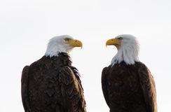 A Pair of Bald Eagles Facing Each Other Royalty Free Stock Images
