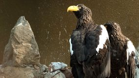Pair of bald eagles in nest.