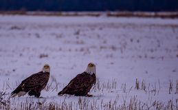 A Pair of Bald Eagles Scanning the Field stock photos