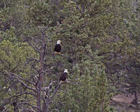 Pair of Bald Eagles Sitting In Pine Forest Trees Royalty Free Stock Photos