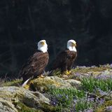 Pair of Bald Eagles Royalty Free Stock Photography