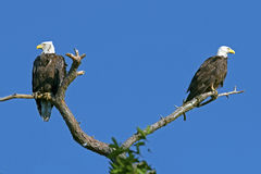 Pair of Bald Eagles. Sitting on a tree branch Royalty Free Stock Photography
