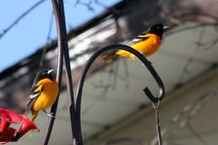 Pair of Baltimore Orioles in southern Manitoba. Baltimore Oriole in south central Manitoba, not far from Portage La Prairie, Manitoba.  Bright orange and black royalty free stock photo