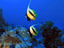 Pair of bannerfish in front of coral reef Stock Image