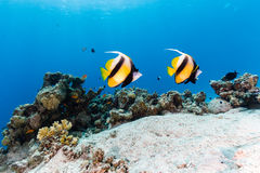 A pair of Bannerfish swim over a tropical coral reef Royalty Free Stock Images
