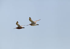 A pair of bar-tailed Godwit in flight Royalty Free Stock Images