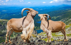 Pair of  barbary sheeps in wildness area. Pair of Standing barbary sheeps in wildness area in sunny day Royalty Free Stock Image