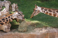 Pair of Baringo Giraffe - Giraffa camelopardalis rothschildii Stock Images