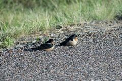 Pair of Barn Swallows on Side of the Road. Image shows a pair of Barn Swallows, taking a break on the side of the road during a windy morning. Image was taken royalty free stock image