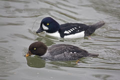 Pair of Barrow's Goldeneye, Bucephala islandica Stock Image