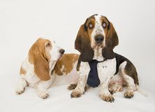 Pair of Basset Hounds Stock Photos