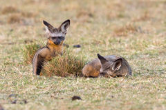 Pair Of Bat-eared Foxes In Evening Sun royalty free stock image