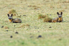Pair Of Bat-Eared Foxes Stock Photography