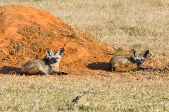 Pair Of Bat-eared Foxes Beside Termite Mound Royalty Free Stock Images