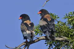 Pair of Bataleur perching Stock Images