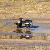 Bateleur Eagles. A pair of Bateleur Eagles by a river in Southern African savanna royalty free stock photography