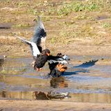 Bateleur Eagles. A pair of Bateleur Eagles by a river in Southern African savanna stock images