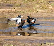 Bateleur Eagles stock photos