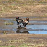 Bateleur Eagles. A pair of Bateleur Eagles by a river in Southern African savanna stock photo