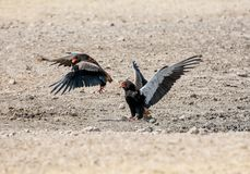 Bateleur Eagles. A Pair of Bateleur Eagles squabbling in Namibian savanna royalty free stock images
