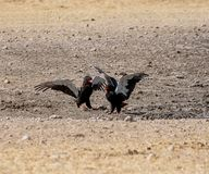 Bateleur Eagles. A Pair of Bateleur Eagles squabbling in Namibian savanna stock photography
