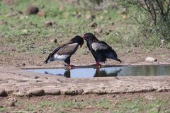 Pair of bateleur standing at a waterhole with courtship. Pair of bateleur standing at a waterhole busy with courtship stock photos