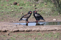 Pair of bateleur standing at a waterhole with courtship. Pair of bateleur standing at a waterhole busy with courtship stock photo