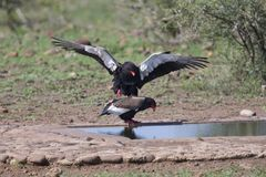 Pair of bateleur at a waterhole busy with mating. Pair of bateleur standing at a waterhole busy with mating stock photo
